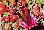 Peacock Butterfly IMG 7563 (9493897511).jpg