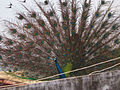Peacock Performance.jpg