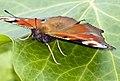 Peacock butterfly (14726306626).jpg