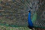 Peacock closeup (32145805955).jpg