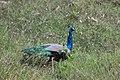 Peacock from Parambikulam T R (5).jpg