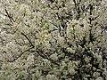 Pear-flowers-spring-blossom - West Virginia - ForestWander.jpg