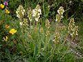 Pedicularis ascendens01.jpg