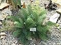 Pelargonium bowkeri - Botanischer Garten München-Nymphenburg - DSC08155.JPG