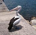 Pelican at Woy Woy (13869655465).jpg