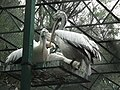 Pelican from Bannerghatta National Park 8588.JPG