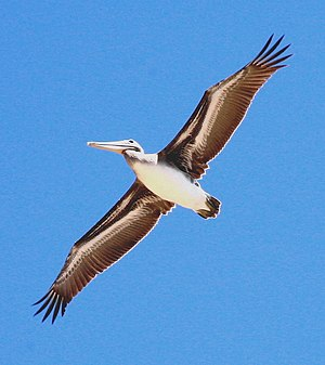 A Brown Pelican in flight, seen from underneat...