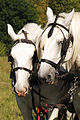 Percherons Blancs Cl J Weber0005 (24000838851).jpg