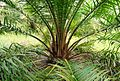 Perkebunan kelapa sawit milik rakyat (103).JPG