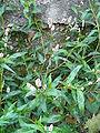 Persicaria maculosa 001.JPG