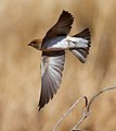Petrochelidon ariel -Karratha, Pilbara, Western Australia, Australia -flying-8.jpg