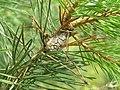 Petrova rexinella 1 beentree.jpg