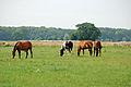 Pferde auf einer Weide 03.JPG