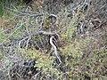 Phacelia ramosissima 1.jpg