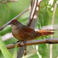 Phacellodomus ruber-Greater Thornbird.jpg