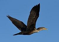 Phalacrocorax auritus Kincardine in flight.jpg