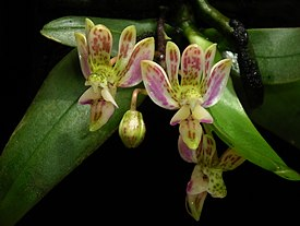 Phalaenopsis minus — Википедия