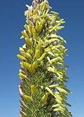 Phalaris aquatica flowerhead4 (7398472568).jpg