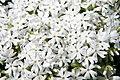 Phlox subulata Snowflake 6zz.jpg