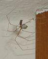 Pholcus phalangioides eating wasp 5.jpg