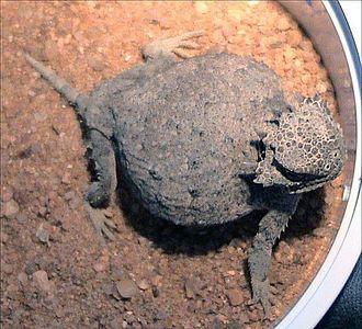 Roundtail horned lizard - Image: Phrynosoma modestum 2