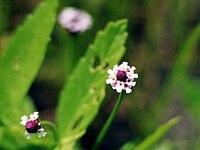 Phyla lanceolata NRCS-1