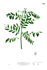 Phyllanthus reticulatus Blanco2.239