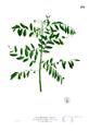 Phyllanthus reticulatus Blanco2.239.png