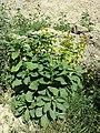 Phytolacca acinosa s. lat. sl7.jpg
