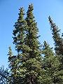 Picea glauca in Denali.jpg