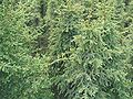 Picea mariana Homer Alaska.jpg
