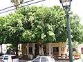 PikiWiki Israel 1732 Zichron Yaakov העץ יותר רחב מהבית.jpg