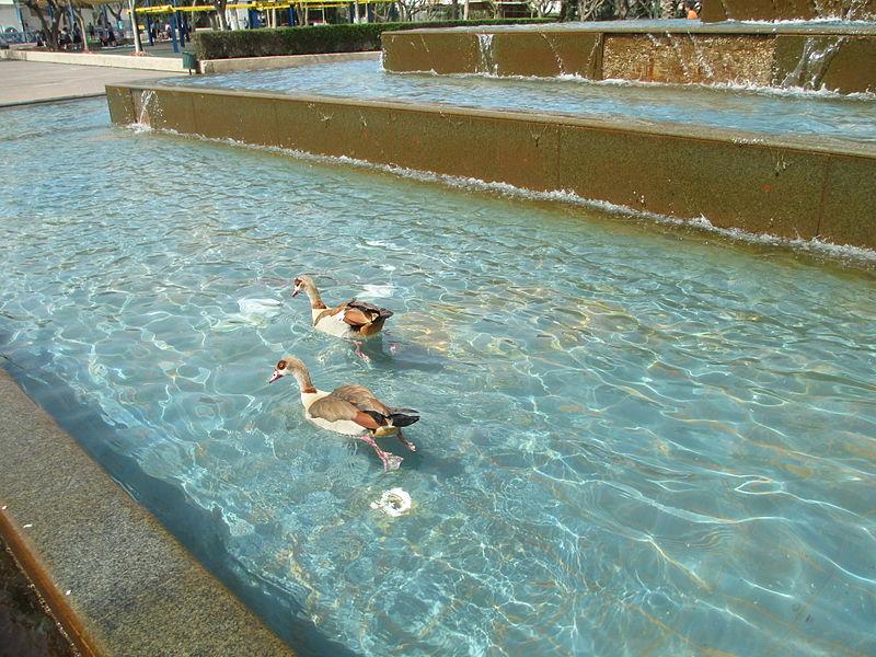 אווזים בפארק מרום נווה