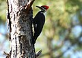 Pileated Woodpecker (677665722).jpg