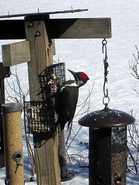 Pileated woodpecker 2014.jpg