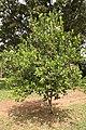 Pimenta Racemosa -7.jpg
