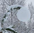 Pine snowball.jpg
