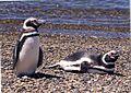 Pinguin Pärchen.JPG