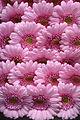 Pink Gerbera (2).jpg