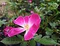 Pink Single Petalled Rose.jpg