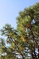 Pinus Engelmann @ Hillier Gardens (2872168381).jpg
