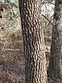 Pinus glabra, Tallahassee, Florida 1.jpg