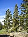Pinus jeffreyi MtPinos2.jpg