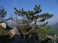 240px pinus nigra  b