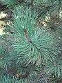 Pinus nigra laricio leaves 02 by Line1.JPG