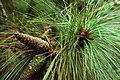 Pinus palustris USDA2.jpg