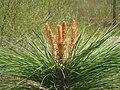 Pinus ponderosa, Arnold Arboretum - IMG 6091.JPG