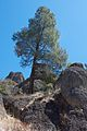 Pinus sabiniana Pinnacles NM 4.jpg