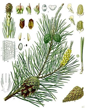Gemeine Kiefer (Pinus sylvestris), Illustration