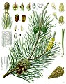 Pinus sylvestris - Köhler–s Medizinal-Pflanzen-106.jpg